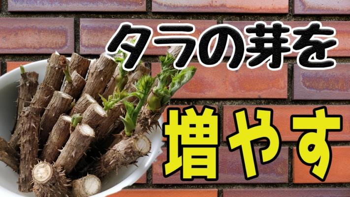 タラの芽を増やす画期的な方法【山菜】