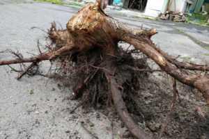 巨木の抜根したら、2時間10分もかかった!