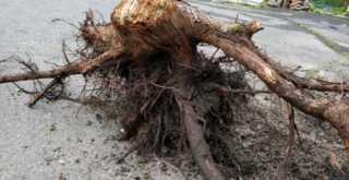 巨木の根を引き抜く (11)